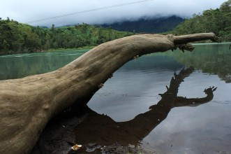 Collapsed dead tree in Telaga Warna - Dieng - Wonosobo