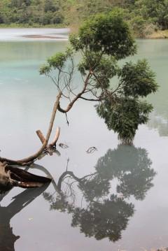 Collapsed tree in Telaga Warna (Dieng)