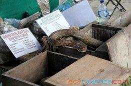 cobra also for sale