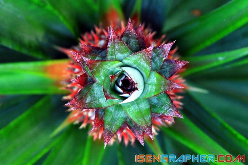 Photo 1 : Pineapple